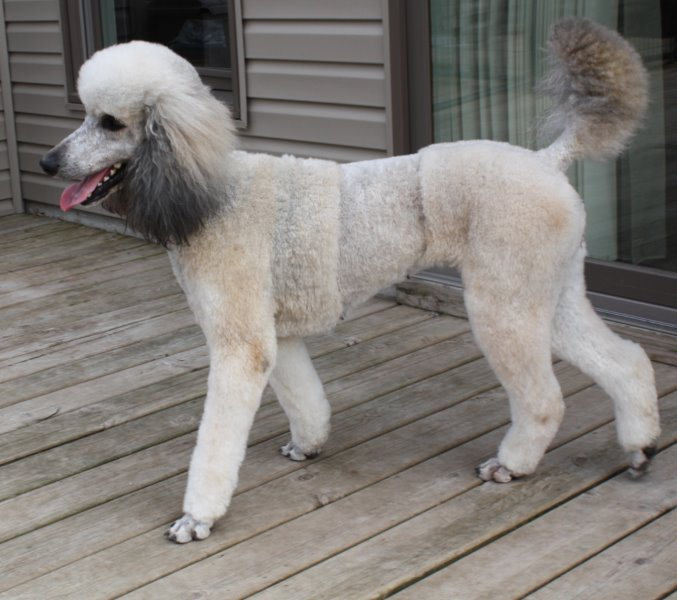 Lady Di Wisconsin Silver Standard Poodle Breeder