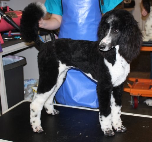 Pippa Black and White Standard Poodle
