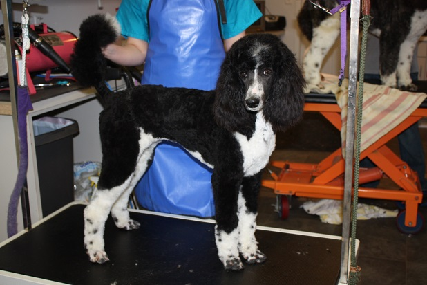 Pippa Black and White Standard Poodle2