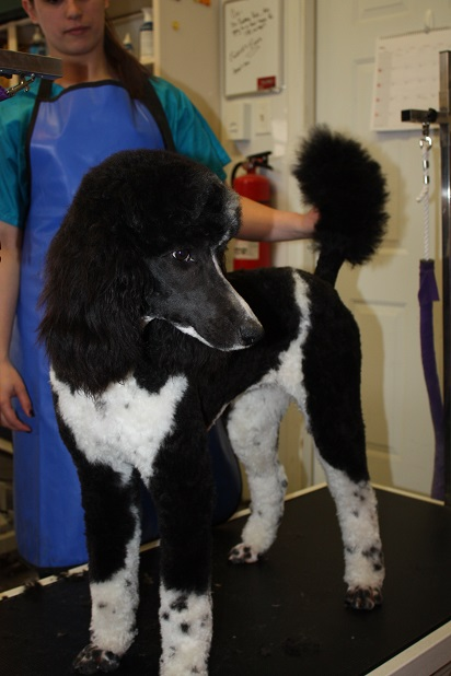 Pippa Black and White Standard Poodle3
