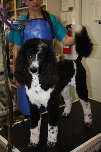 Pippa Black and White Standard Poodle4