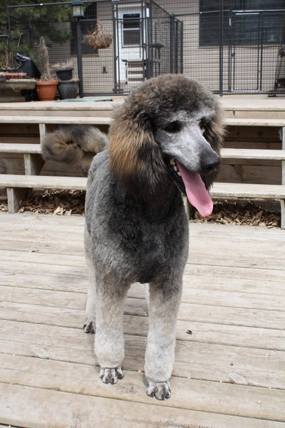 Portia Silver Sable Standard  Sable Phantom Standard Poodle
