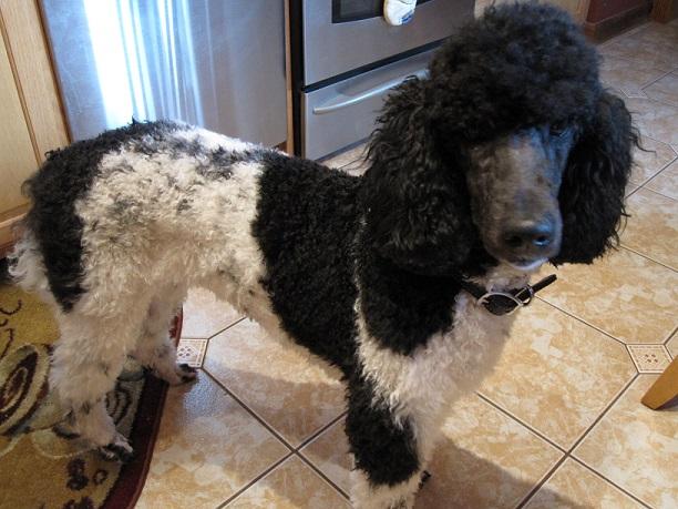 Testimonial – Standard Poodle 'LazRRR's Family'