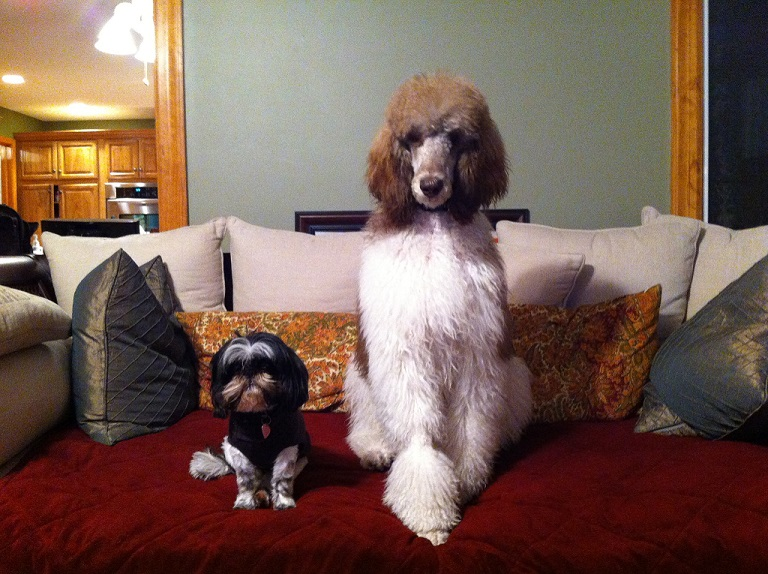 Testimonial – Standard Poodle 'Reese's Family'