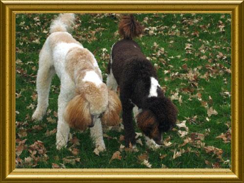 Standard-Poodles-Caleb_and_Nick2