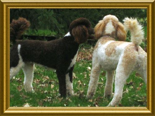 Standard-Poodles-Caleb_and_Nick3
