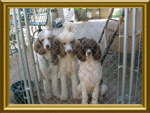 Standard-Poodles-Cinnamon_Nick_Sugar_on_Deck
