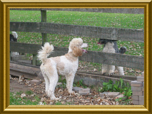 Standard-Poodles-Fence-Playing-NickOLD
