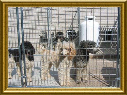 Standard-Poodles-Katie__Kandi__Jewel__Lacy__Bella__Tringka