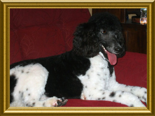 Image Result For Oak Hill Farm Standard Poodles