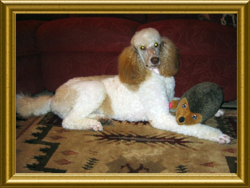 Standard-Poodles-Laying-Down-Nick4