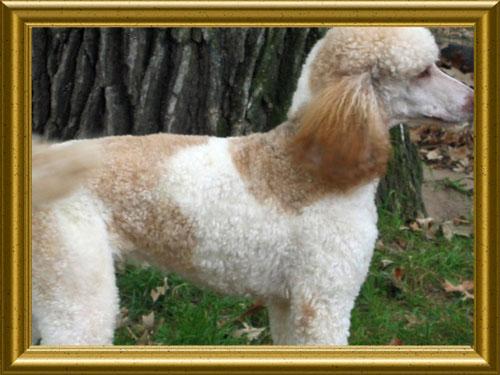 Standard-Poodles-NICK5