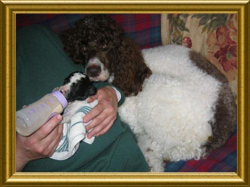 Standard-Poodles-Nursing-Puppy-For-Sale