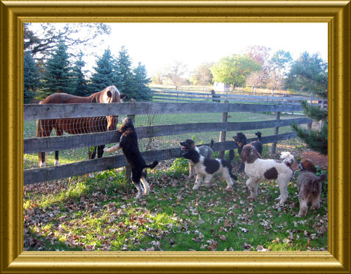 Standard-Poodles-Playing-With-Horses-At-Fence