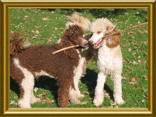 Standard-Poodles-Playing-With-Stick-Nick_and_Caleb