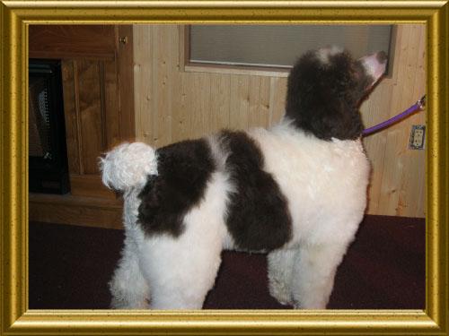 Standard-Poodles-Standing