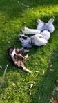 poodles.playing2.jpg