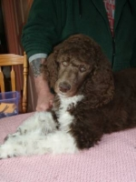 past-poodle-puppies-for-sale-009.jpg