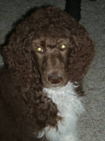 past-poodle-puppies-for-sale-010.jpg