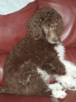 past-poodle-puppies-for-sale-011.jpg