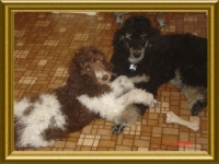 past-poodle-puppies-for-sale-Abby_001.jpg