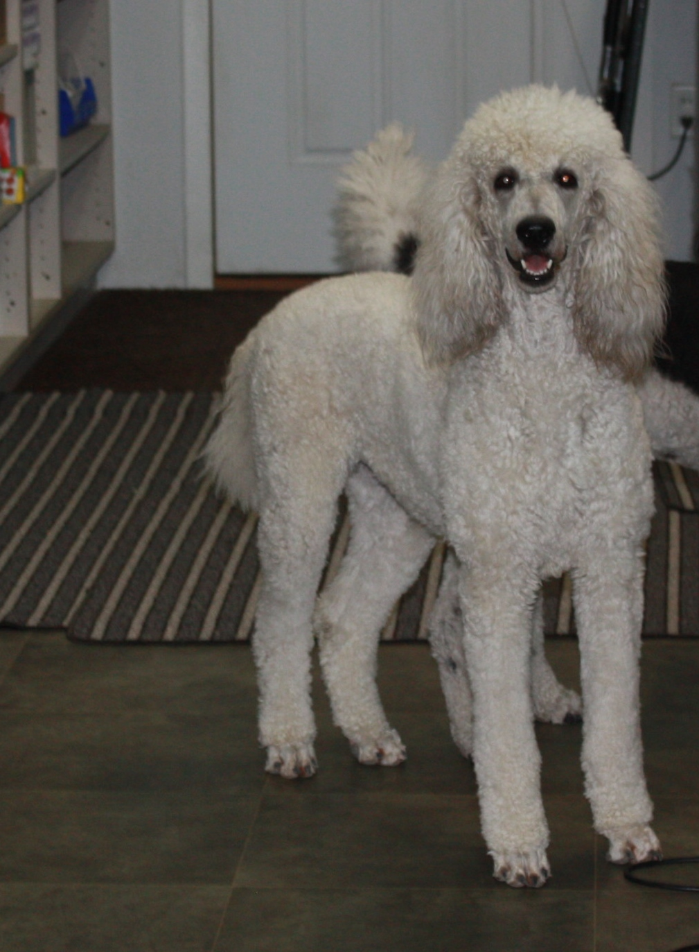 female standard poodle breeders