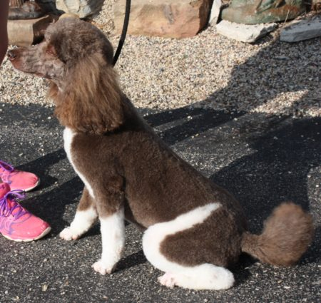 Standard Poodle Adults For Sale