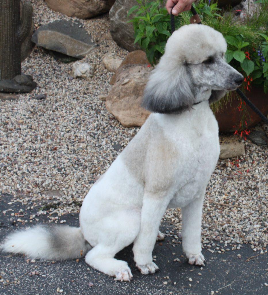Standard Poodle Coat Colors Patterns