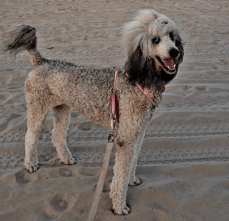 Testimonial – Standard Poodle 'Ivy'