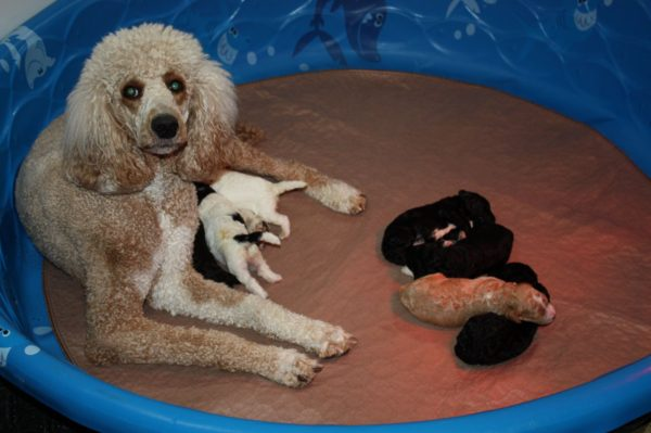 Standard Poodle Breeders in Wisconsin at Oak Hill Farm